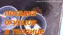 посадка огурцов в теплице