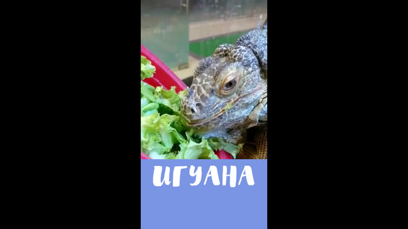 Зеленая Игуана ест свою любимое блюдо в зоопарке в Москве
