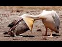 LAS 10 MEJORES BATALLAS DE ANIMALES SALVAJES ep. 4 | EL APETITO VORAZ DEL PELÍCANO