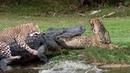 WHEN PREDATOR BECOMING PREY   Leopard Lucky Escape From Crocodile Hunting, Jaguar vs Caiman