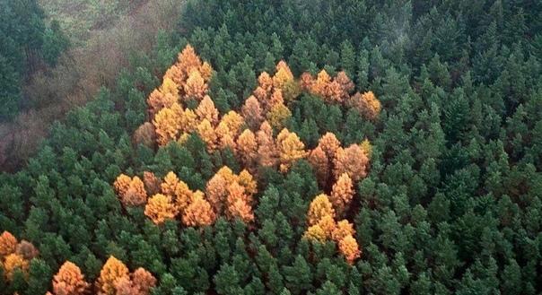 Лесная свастика  незаконный символ нацистов, созданный деревьями