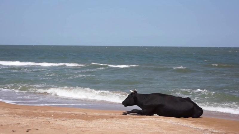 Коровы на пляже Крым Путешествия с Мариной Тихомировой