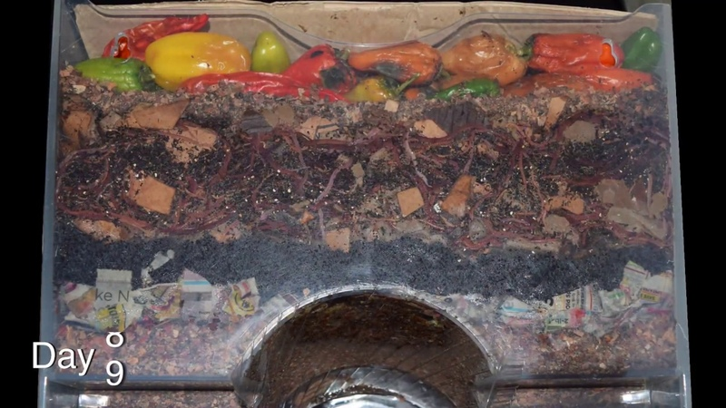 Around the Worm Bin in 80 Days FAST time lapse Vermicomposting with Red Wigglers Layered Food