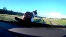 Кот катается на капоте машины