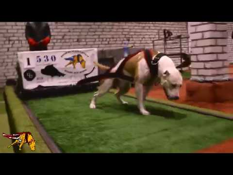 Motivation Training Amstaff Pitbull wplatvia