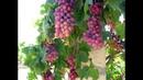 382 Виноград из косточек Новый эксперимент Результат