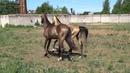 Sakhaltekellc Продажа Ахалтекинских лошадей Sale of Akhal-Teke horses