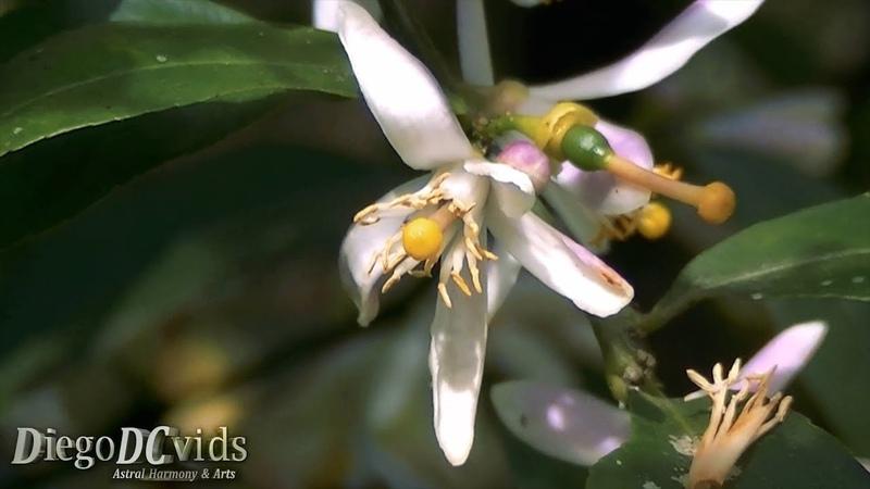 Citrus limonia Rangpur Lim o cravo limoeiro cravo Rutaceae