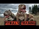 Собачьи бои питбулей. Тренировки боевых питбулей. Training of combat pitbulls