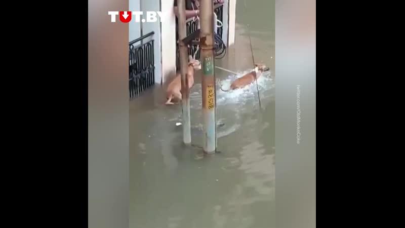 Крокодил в затопленном городе нападает на собаку