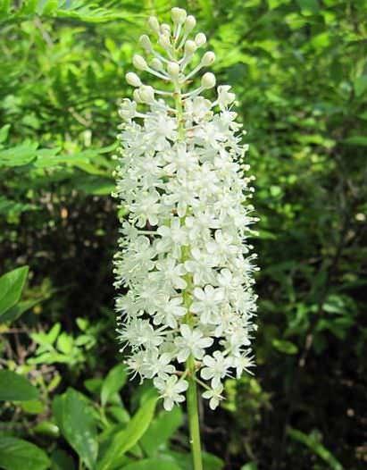Амиантиум Относится к семейству лилейных и представляет собой многолетнее травянистое растение. Имеет различные подвои: корневища, луковицы, клубнелуковицы или клубни. У растения длинные тонкие