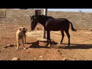 Persian_war_dogs+