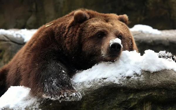Скачать Обои Медведь