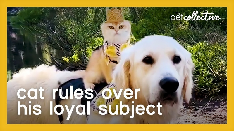 Kitten Wearing Crown Sits on Golden Retriever