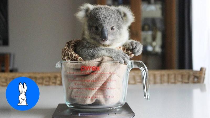 Baby Koala Bears Playing Climbing CUTEST Compilation