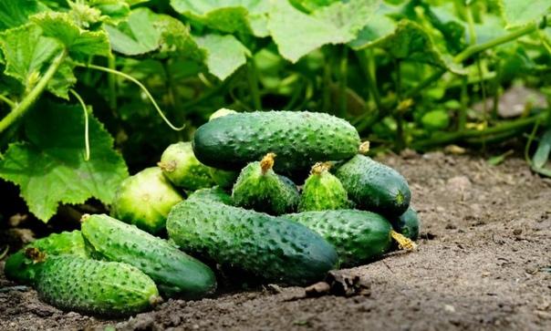 Сорта огурцов которые дают самый высокий урожай.