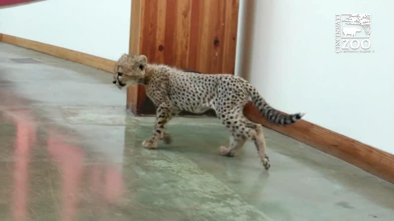 Гепардёнок Крис и щенок Ремус Игры Цинциннатский зоопарк