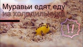 ЭКСПЕРИМЕНТ №1 Реакция муравьев МЕССОРОВ на еду из холодильника Овощи, фрукты и ШОКОЛАД Messor
