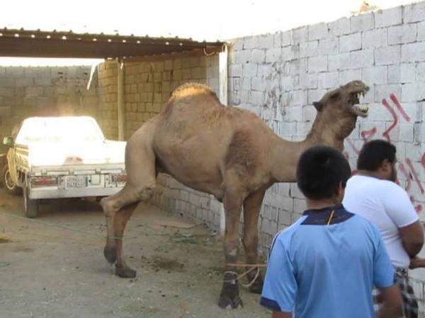 جمل البرماويه عيد الاضحى 14341210 camel Albermawiyeh Eid al-Adha