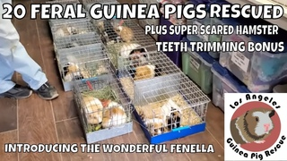 Today We Took in 20 Feral Guinea Pigs, met some Rescued Hamsters and Trimmed Some Teeth. Typical day