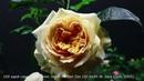 Роза 100 идей сада Шраб 100 idees Zes Dr Keith W Zary США 2005