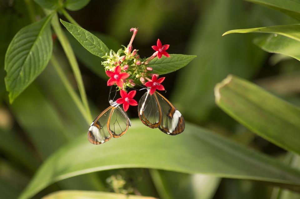 Greta oto, или стеклянная бабочка