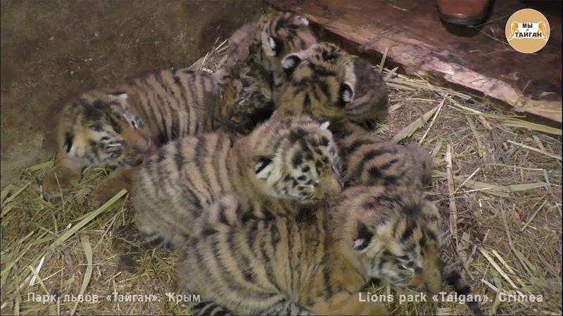 Тигриный рекорд! 6 тигрят у одной тигрицы! Тайган Tiger record! 6 cubs of one tigress! Taigan