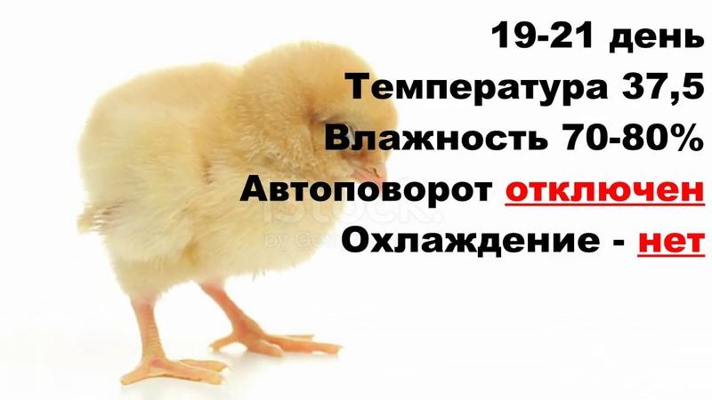Лучший режим инкубации куриных яиц в бытовом инкубаторе 👍 Таблица инкубации цыплят 🐥 Инкубация кур