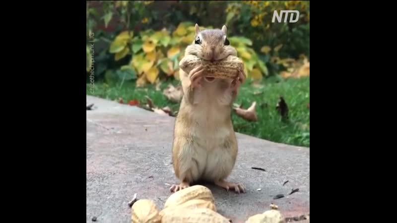 восхитительный бурундук пытается хранить орешки во рту