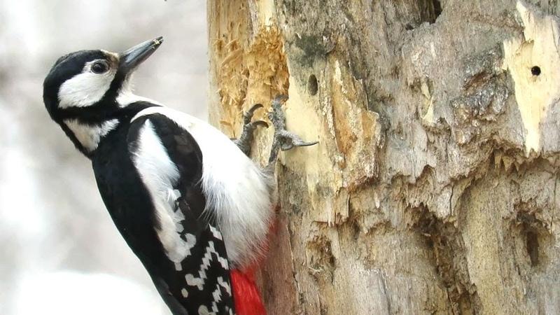 Большой пестрый дятел долбит дерево Woodpecker chisels wood
