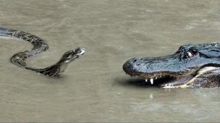 АНАКОНДА В ДЕЛЕ! Питон против Крокодила, Леопарда, Бегемота, Кенгуру