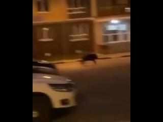 """Кабан в ЖК """"Волжская гавань"""""""