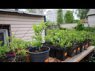 46 сортов метельчатой гортензии, которые мы выращиваем на своих участках