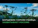 БОРЩЕВИК СОРНЯК-УБИЙЦА ЗАХВАТЫВАЕТ РОССИЮ