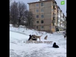 ВЗлатоусте бездомные собаки захватили двор итерроризируют местных жителей