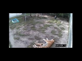 Веб-камеры К24: тигрица кормит котёнка в барнаульском зоопарке