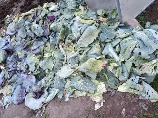 Отдаю капустные листья на корм скотине.По всем инт...