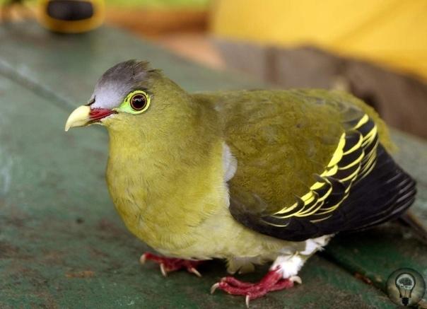Зеленый голубь: все о жизни необычной птицы