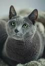 russian blue cat - 736×1074