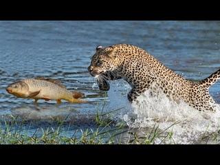 ЛЕОПАРД В ДЕЛЕ! На что способен Леопард против собаки, обезьяны и птицы